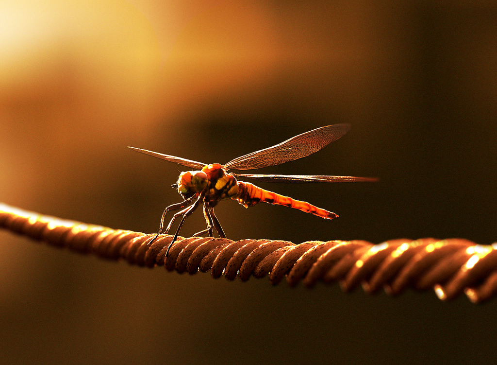 Dragonflies,as red as sunset.
